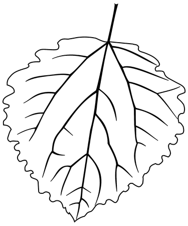 leaf aspen poplar ,Populus tremula,vector, isolated aspen poplar, leaf, Illustration