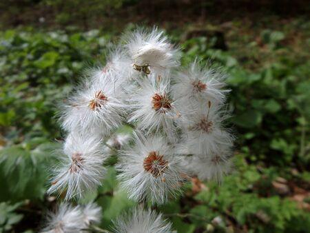 petasites: flowering white butterbur,background,White butterbur (Petasites albus) Stock Photo