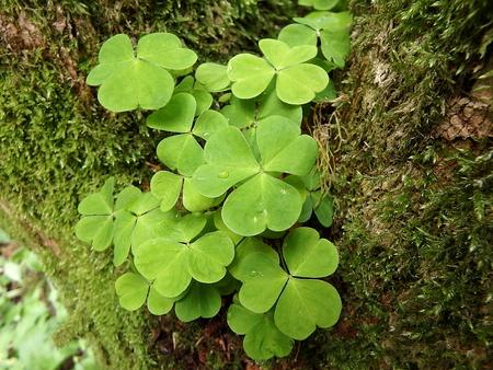 woodsorrel: Wood-sorrel (Oxalis acetosella) background Stock Photo