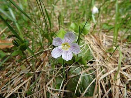 woodsorrel: Wood-sorrel ,(Oxalis acetosella), background,Wood-sorrel flower Stock Photo