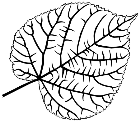 linden tree: linden, lime, teil, lime-leaf, vector, isolated linden leaf,