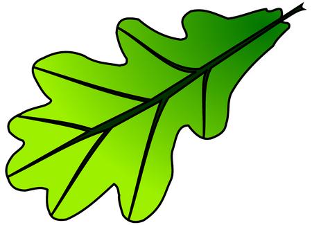 roble, Quercus robur, vector, aislado hoja de roble,