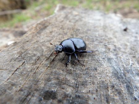 scarab ,(Geotrupes stercorarius)beetle, bug,