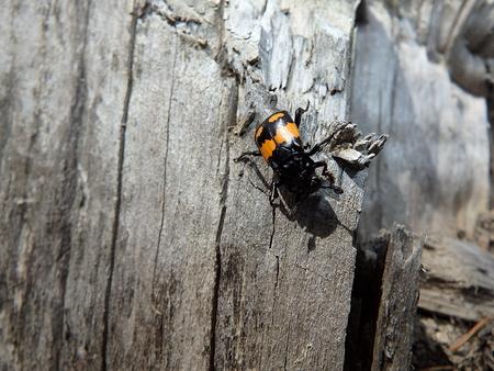burying beetle, carrion beetle ,