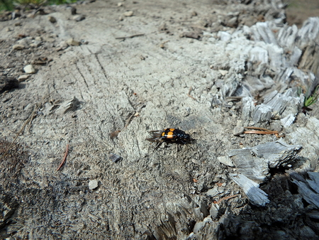 carrion: burying beetle, carrion beetle ,