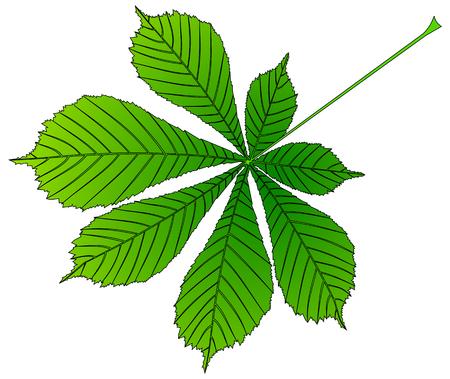 buckeye: chestnut, buckeye ,(Aesculus hippocastanum) , vector, isolated buckeye leaf,