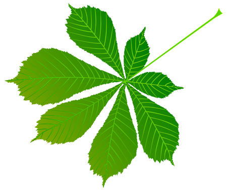 chestnut, buckeye ,(Aesculus hippocastanum) , vector, isolated buckeye leaf,