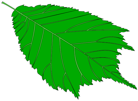 elm: elm,(Ulmus glabra),  vector, isolated elm leaf,