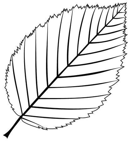 hornbeam: hornbeam,(Carpinus betulus), vector, isolated hornbeam leaf, Illustration