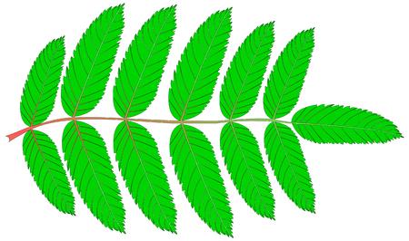 sorbus aucuparia: Rowan,(Sorbus aucuparia), vector, isolated Rowan leaf,
