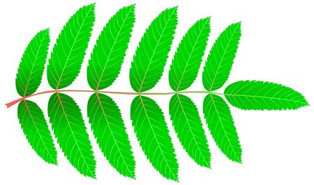 aucuparia: Rowan,(Sorbus aucuparia), vector, isolated Rowan leaf,