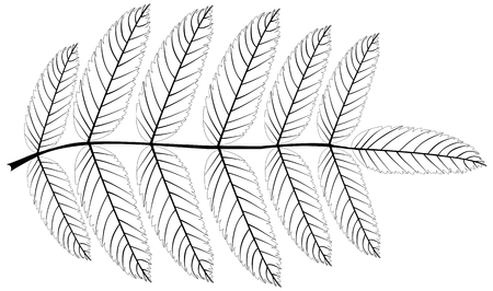 eberesche: Rowan (Sorbus aucuparia), Vektor, isoliert Rowan Blatt, Illustration