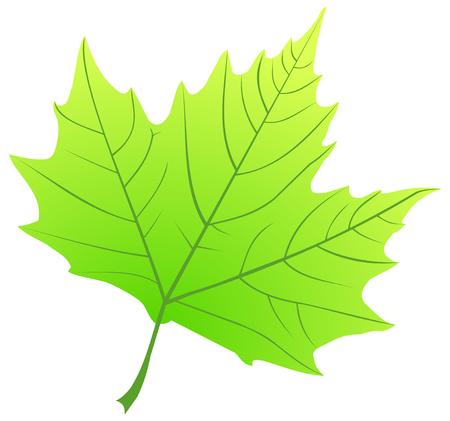 sicomoro: sicomoro, (Platanus acerifolia), vettore, isolato foglia di sicomoro,