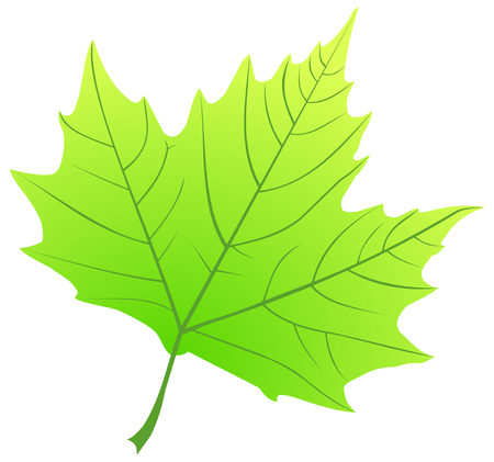 sycamore leaf: sycamore,(Platanus acerifolia ), vector, isolated sycamore leaf,
