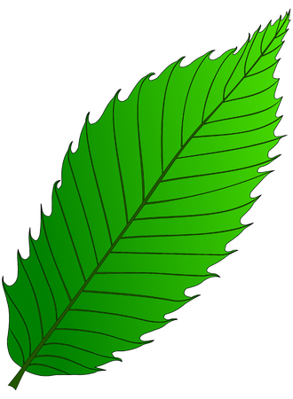 castagno (Castanea sativa), vettore, isolato foglia di castagno,