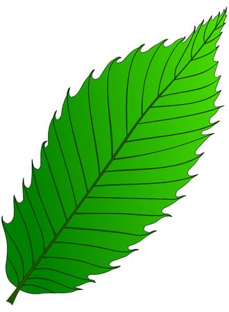 sativa: chestnut (Castanea sativa), vector, isolated chestnut leaf,