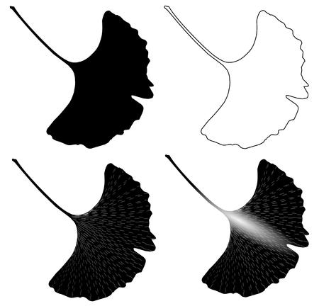 ginkgo leaf: Ginkgo leaf,Leaves of ginkgo biloba, vector, isolated ginkgo leaf, Illustration
