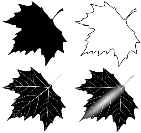 sycamore: sycamore,(Platanus acerifolia ), vector, isolated sycamore leaf,