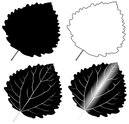 aspen leaf: leaf aspen poplar ,(Populus tremula),vector, isolated aspen poplar, leaf,