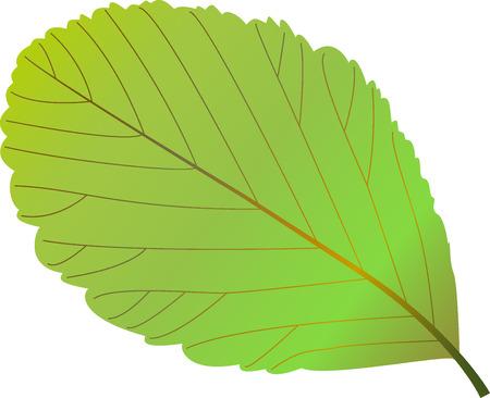 eberesche: rowan leaf, rowan, Illustration