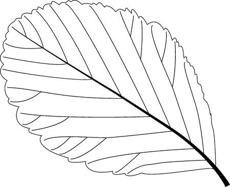 eberesche: Rowan Blatt, Eberesche, Illustration