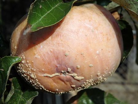 mildew on apple, Rotten apple with mildew on tree, Stock Photo
