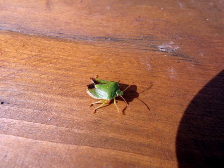 green shield bug: green beetle, (Acanthosoma haemorrhoidale), green shield bug, Stock Photo