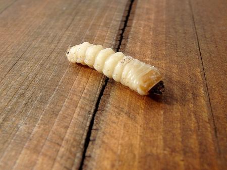 repugnant: white larvae, larvae  beetle ,Sickening animal,
