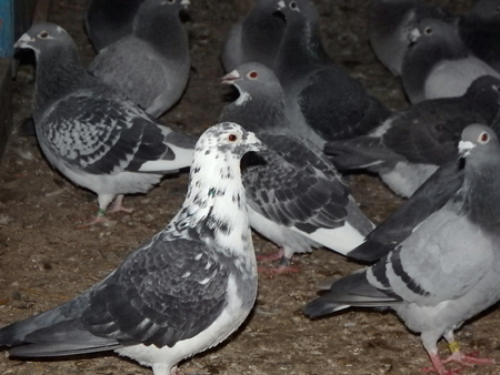 beak doves: carrier pigeon, homing pigeon, carrier, mail pigeon, Stock Photo