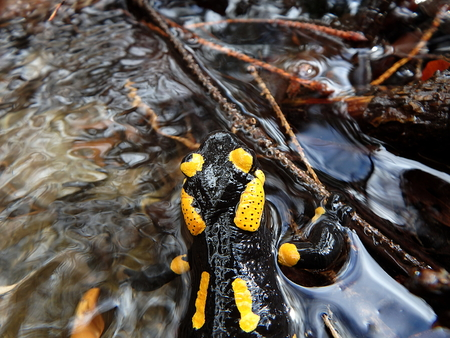 fire salamander, (Salamandra salamandra) Stock Photo