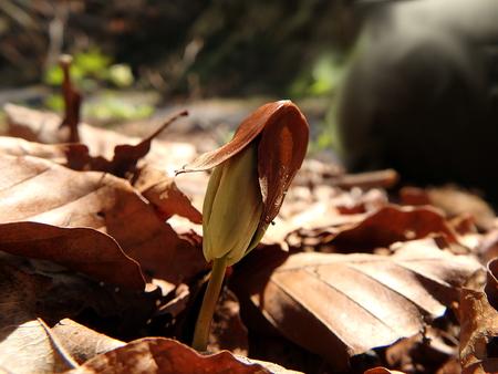 germinación: germinación de plántulas hojas de haya, (Fagus sylvatica) Foto de archivo