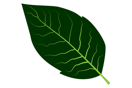 Tobacco leaf vector illustration. Çizim