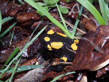 salamandre: Salamandre au feu, (Salamandra salamandra) Banque d'images