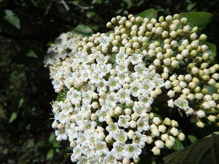 lantana: Blooming Wayfaring Tree,(Viburnum lantana)