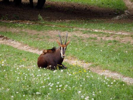 Sable antelope, (Hippotragus niger) Stock Photo