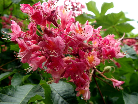 flower -  red horse chestnut, (Aesculus carnea) Stock Photo