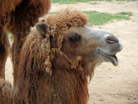 Double hump camel,(Camelus bactrianus)