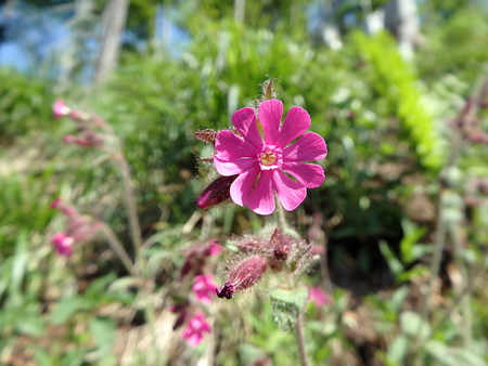 Pink flower in the forest, (Silene dioica) Stock Photo