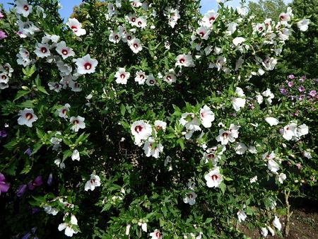 white hibiscus flower