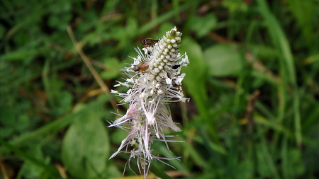 Hoary plantain in blossom,(Plantago media), flower of plantain