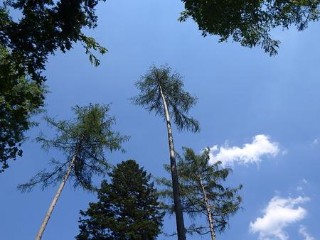 european larch tree, (Larix decidua)