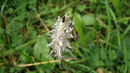 anthers: Hoary plantain in blossom,(Plantago media), flower of plantain