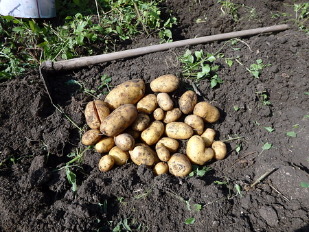 when: Potato harvesting, Fresh potatoes when harvested from organic farms, Potatoes and hoe in the garden,