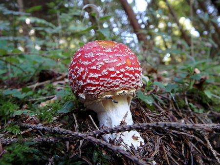 Spotted toadstool in the forest - poisonous mushroom, (Amanita muscaria), Red mushroom, Red toadstool Stock Photo
