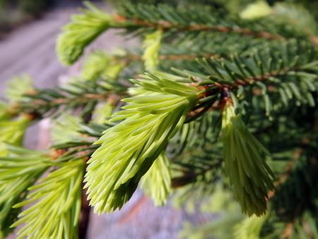 Green spruce twig - closeup, (Picea abies)