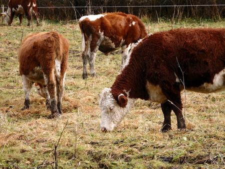 初冬の牛、初冬の牛放牧、