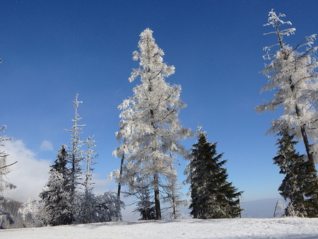 Larch tree - winter nature, (Larix decidua, High Tatras - Slovakia - nature
