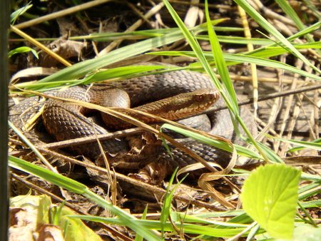 Brown snake in green grass