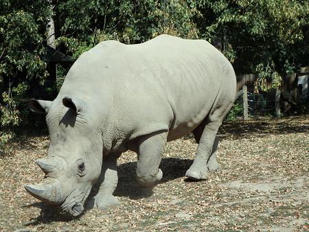 White rhinoceros, (Ceratotherium simum), square-lipped rhinoceros
