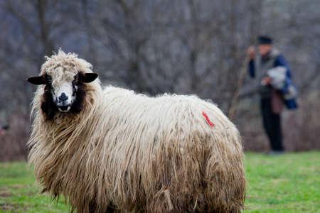 sheepfold: sheep